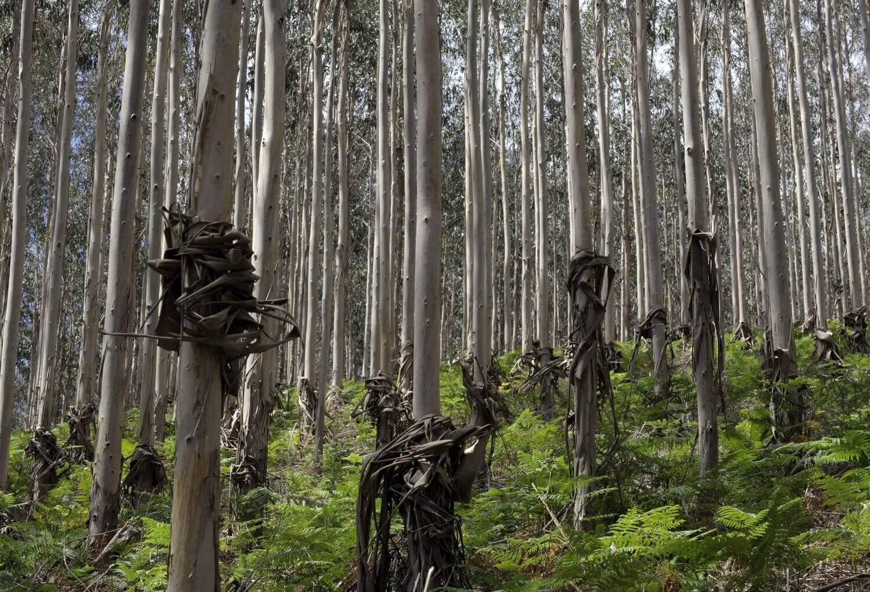 Enfermedades y plagas del eucalipto