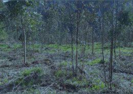 Enfermedades Eucalyptus